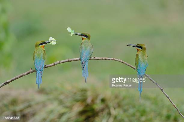 Blue-tailed Bee Eaters