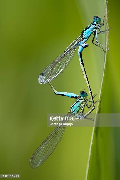Blue-tailed damselflies (Ischnura elegans) mating