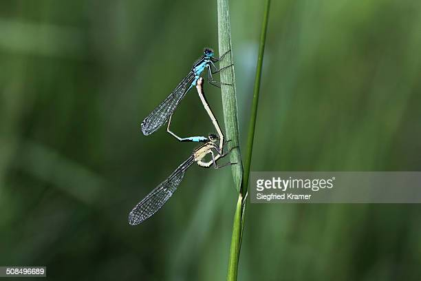 Blue-tailed Damselfly -Ischnura elegans-, mating, male above, female below, Germany