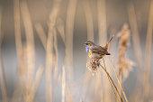 Bluethroat singing in a reed field