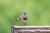 the bird is the Bluethroat sings one hundred on a wooden fence on a white isolated background