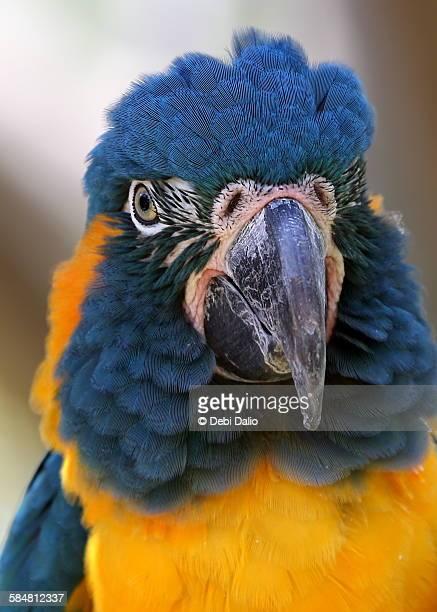Blue-Throated Macaw Close-up Head Shot