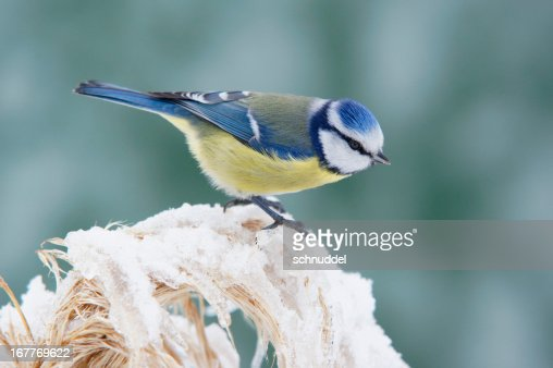 Bluetit in winter