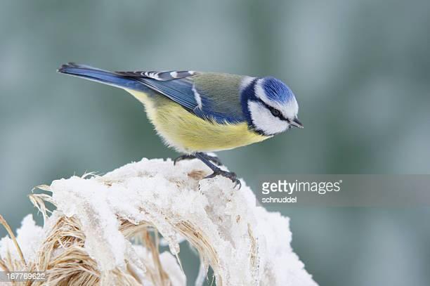 Bluetit in winter