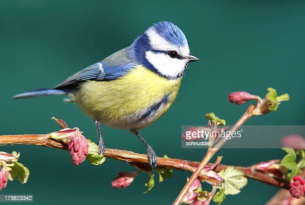 Bluetit on a blood red currant branch.