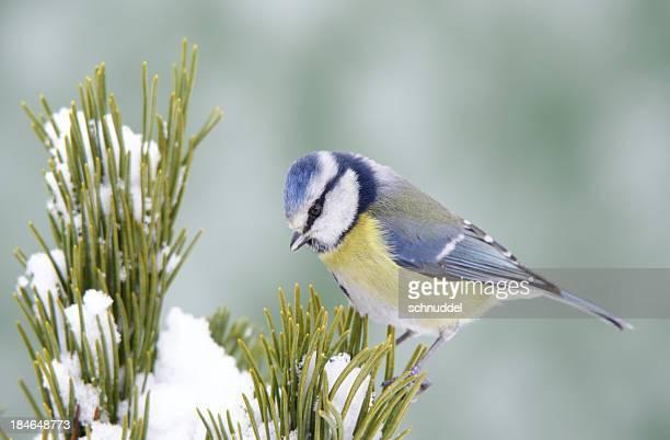 Bluetit on a pinetwig