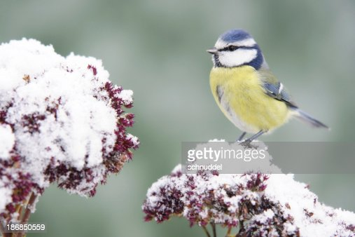 Bluetit on stonecrop.