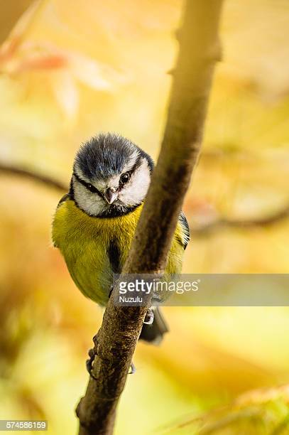 Bluetit perched on branch with yellow background