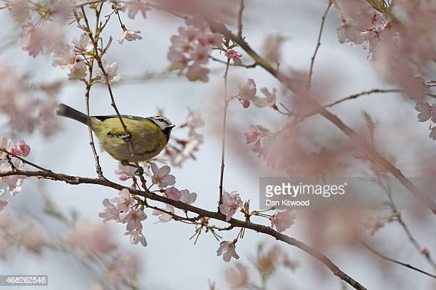 Bluetit sits on a blossom branch in St James's Park on April 1 2015 in London England Despite the sun making a brief appearance today strong gales...