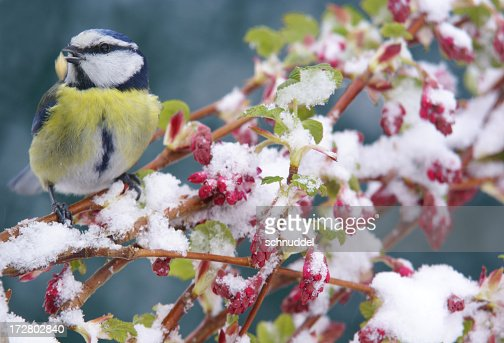 A bluetit standing on a tree branch in the winter