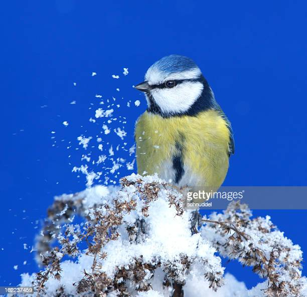 Bluetit with snow