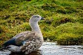 Bluewinged Goose Cyanochen cyanoptera Bale Mountains National Park Ethiopia