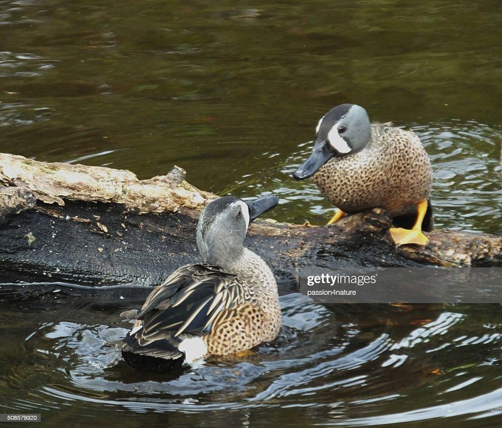 Blue-winged Teal Duck (Anas discors) : Bildbanksbilder
