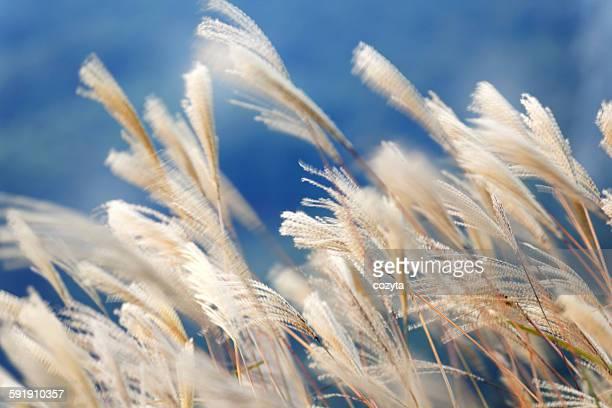 Blur silver grass