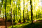 Blurred background of green trees in a forest at sunset