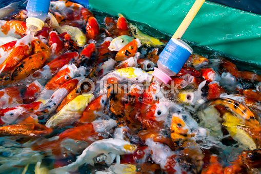 Blurred Image Of Feeding Koi Fish With Baby Milk Bottle