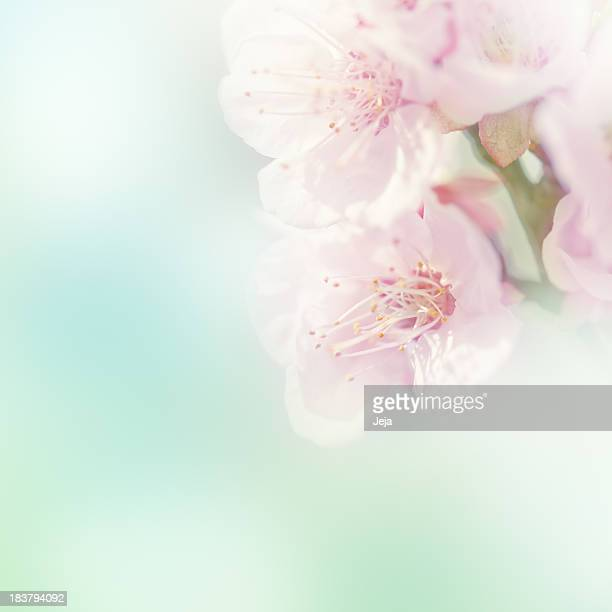 Blurry close-up of a pink sakura flower