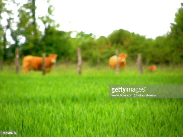 Blurry cows in the countryside