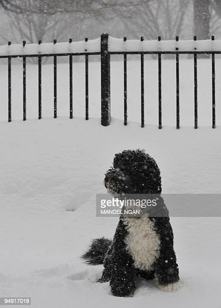 Bo the Obama family dog sits in the snow outside of the Brady Briefing Room of the White House on December 19 2009 in Washington A blizzard warning...