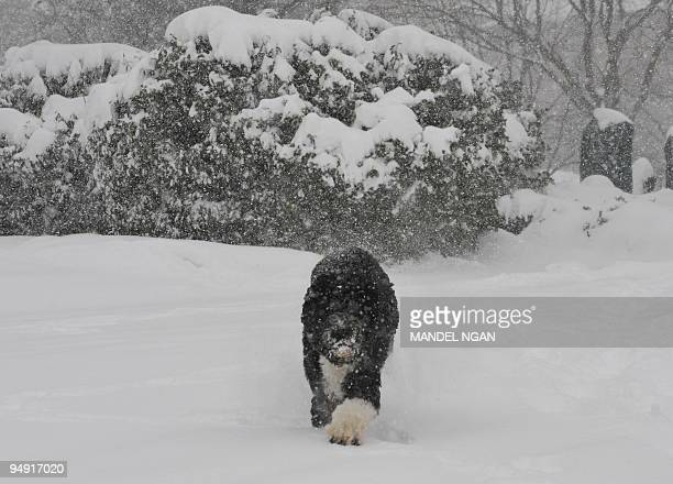 Bo the Obama family dog walks in the snow outside of the Brady Briefing Room of the White House on December 19 2009 in Washington A blizzard warning...