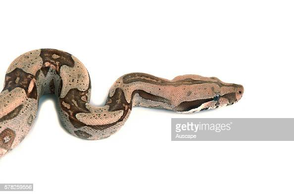 Boa constrictor Boa constrictor a popular pet species Commonly grows to about two m origin Central and South America