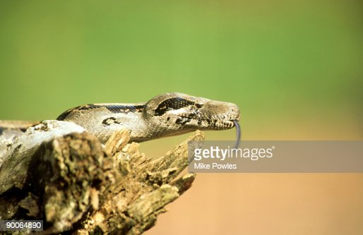 boa constrictor: boa constrictor  costa rica : Stock Photo