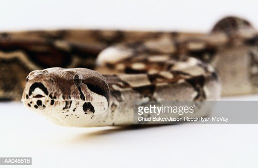 Boa constrictor, close-up (focus on head)