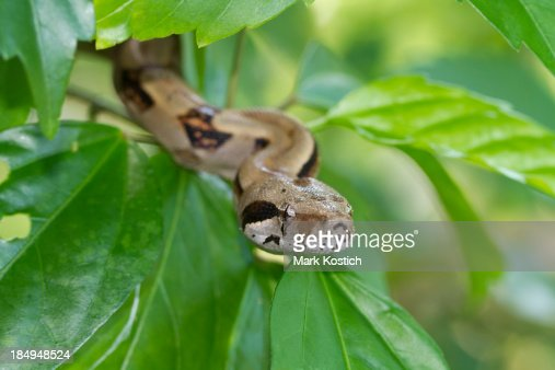 Boa Constrictor Descending from Tree