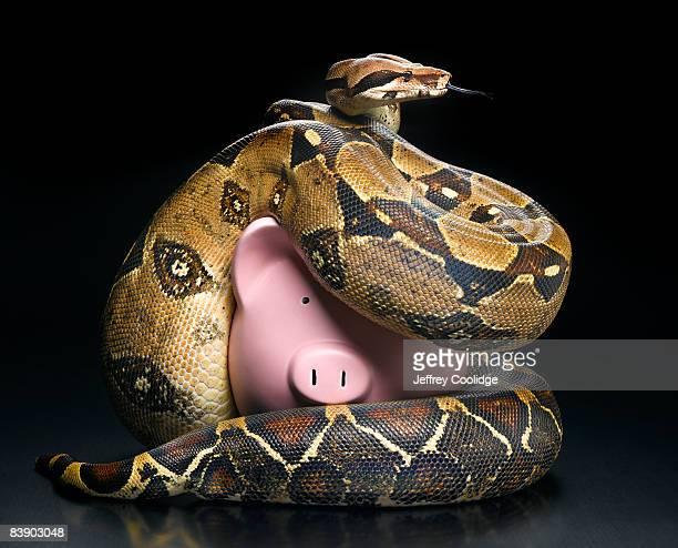 Boa constrictor squeezing piggybank