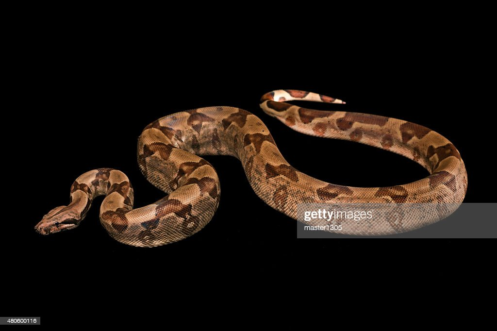 Boa constrictors  isolated on black background : Stock Photo