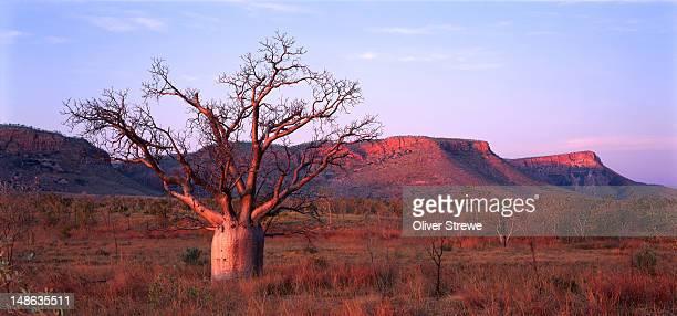 Boab tree and escarpment in East Kimberley.