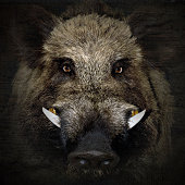 wild boar portrait in black background