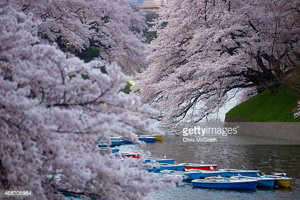 Boats are seen under blooming cherry blossom trees at Chidorigafuchi on March 31 2015 in Tokyo Japan The Cherry blossom season begins in Okinawa in...