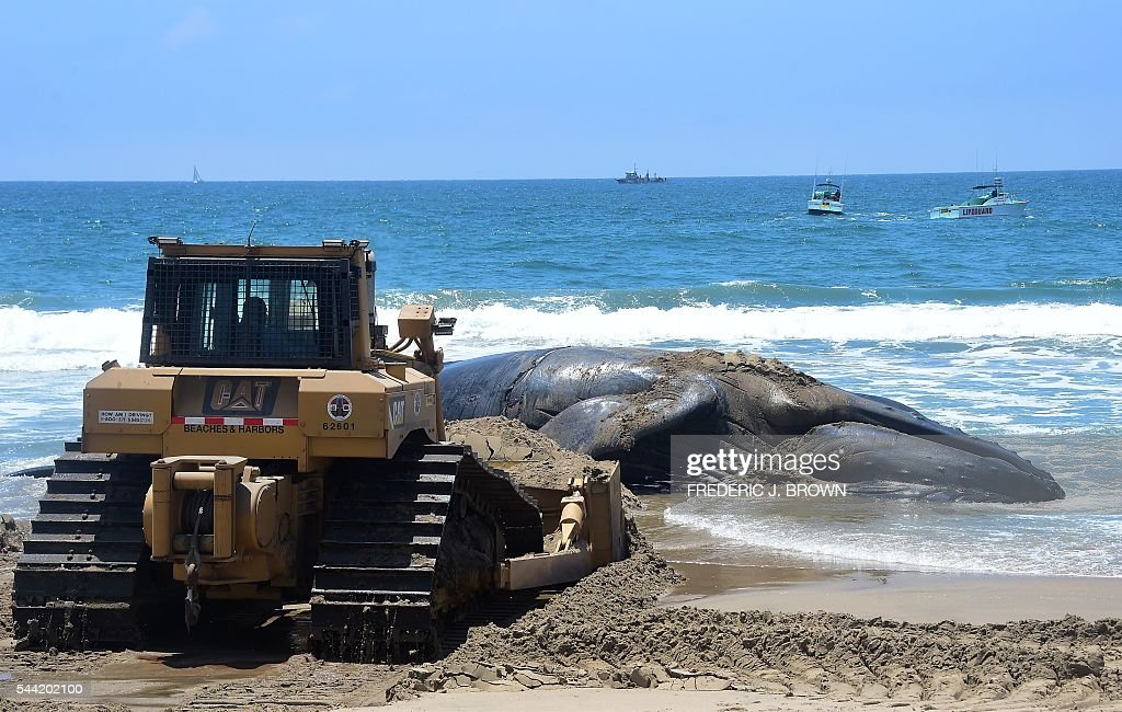 Boats wait to pull the dead whale being pushed from shore at Dockweiler State Beach in Playa Del Rey, California on July 1, 2016. With the scent of the rotting dead whale permeating the air at the beach, workers are attempting to quickly remove the deceased before thousands of beachgoers are expected at Southern California beaches for the July 4th weekend. / AFP / Frederic J. BROWN