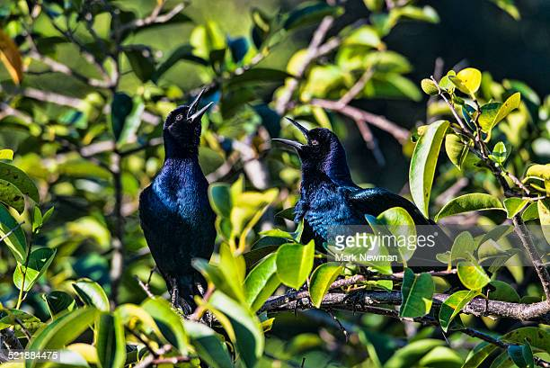 Boat-tailed grackles singing