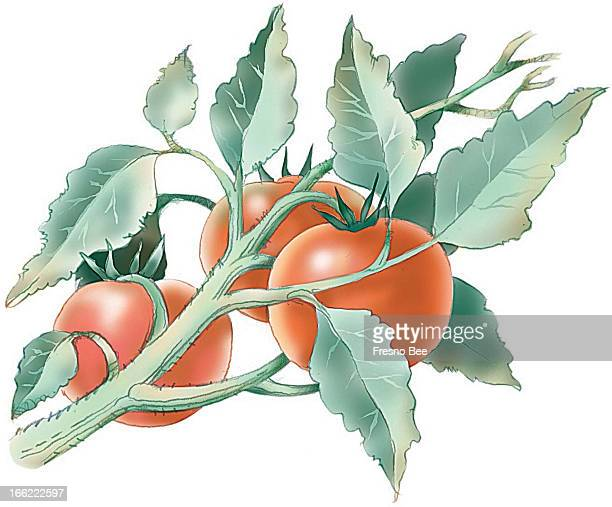 Bob Campbell color illustration of tomatoes on the vine