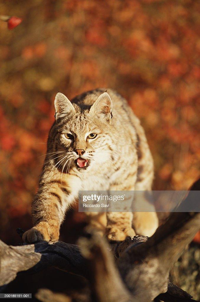 Bobcat (Felis rufus) at base of tree, elevated view : Stock Photo