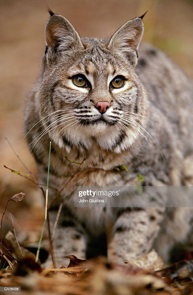 Bobcat (Felis rufus), close-up : Stock Photo