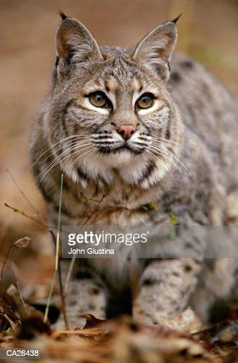 Bobcat (Felis rufus), close-up