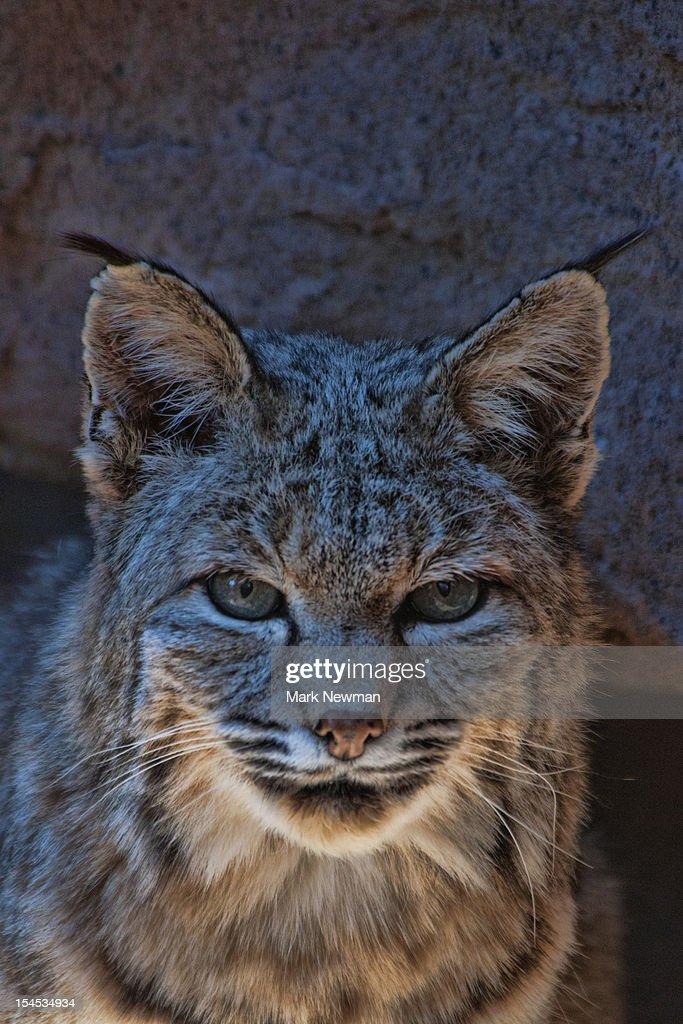 Bobcat (Felix rufus) closeup portrait : Stock Photo