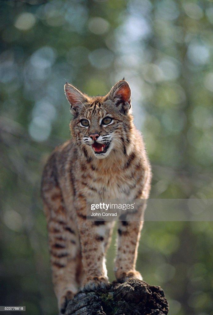 Bobcat Cub A Rock Stock