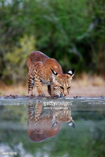 Bobcat drinking at still pond