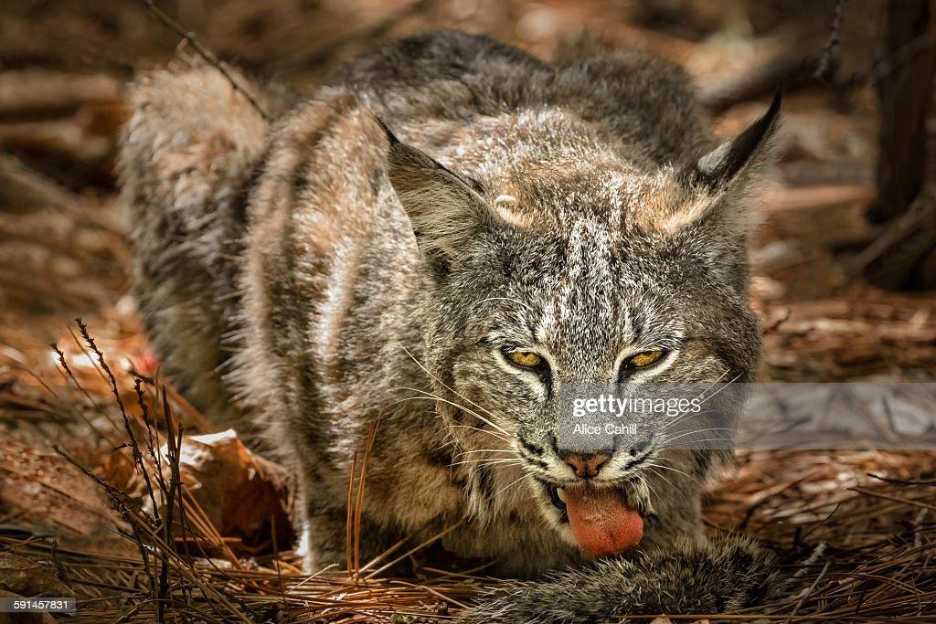 Bobcat facing forward with tongue out