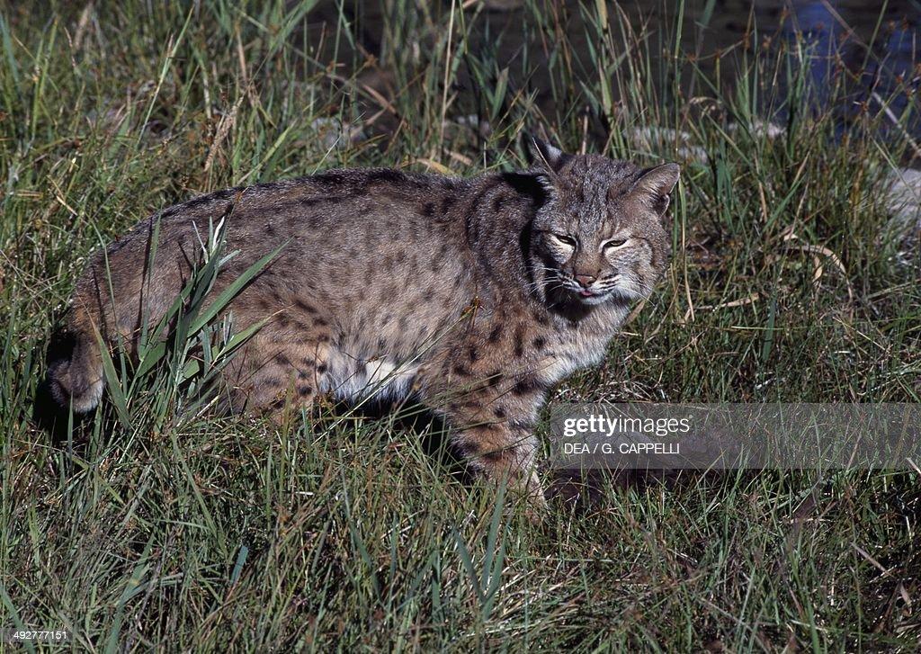 Bobcat Felidae Algonquin Provincial Park Ontario Canada