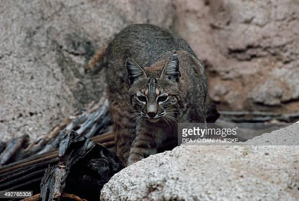 Bobcat Felidae