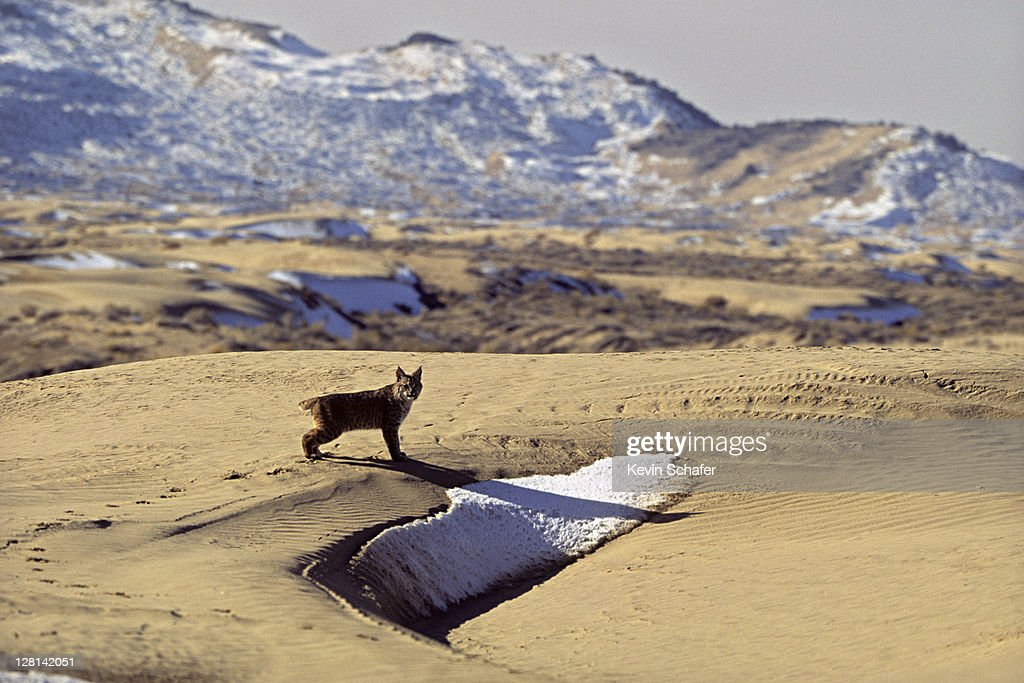 Bobcat, Felis rufus, next to small patch of snow. Uinta National Forest. Utah. USA : Stock Photo