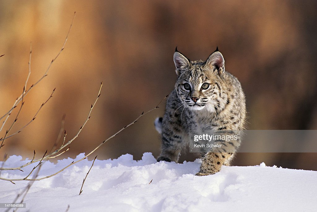 Bobcat, Felis rufus, walking in snow, Uinta National Forest, Utah, USA : Stock Photo