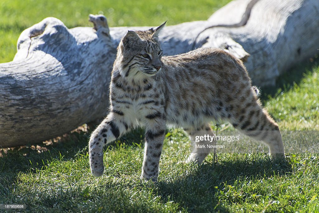Bobcat , Felix rufus : Stock Photo
