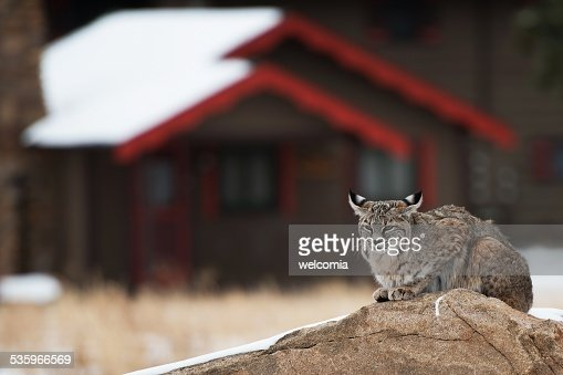 Bobcat in Residential Area : Stock Photo