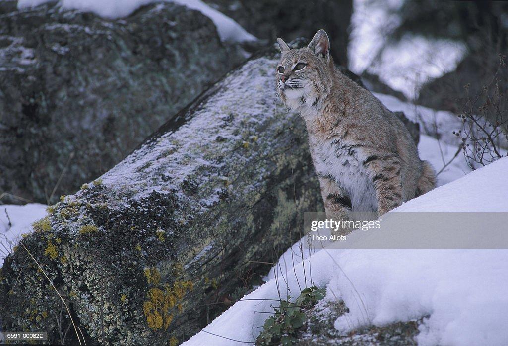 Bobcat in Snow : Stock Photo